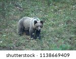 wild cantabric bear  ursus... | Shutterstock . vector #1138669409