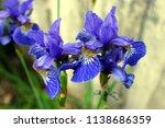 iris flower. blossoming blue... | Shutterstock . vector #1138686359