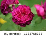 Burgundy Double Flowers Of The...