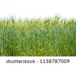 Young Barley Field Green Wheat...