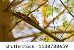 forest songbird on a branch.... | Shutterstock . vector #1138788659