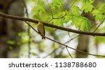 forest songbird on a branch.... | Shutterstock . vector #1138788680