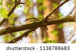 forest songbird on a branch.... | Shutterstock . vector #1138788683