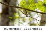 forest songbird on a branch.... | Shutterstock . vector #1138788686