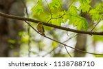 forest songbird on a branch.... | Shutterstock . vector #1138788710