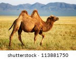 One Camel In The Mongolia