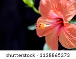 nice colorful hibiscus in my... | Shutterstock . vector #1138865273