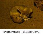 bat eared fox is sleeping and... | Shutterstock . vector #1138890593