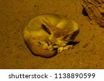 bat eared fox is sleeping and... | Shutterstock . vector #1138890599