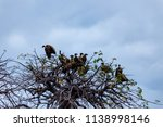vultures in a treetop waiting... | Shutterstock . vector #1138998146