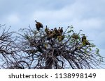 vultures in a treetop waiting... | Shutterstock . vector #1138998149