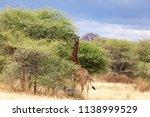 a giraffe grazing in tanzania's ... | Shutterstock . vector #1138999529