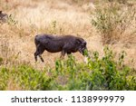 wild boar  or pumba in tanzania'... | Shutterstock . vector #1138999979