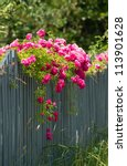 Stock photo pink roses climbing on the wooden fence 113901628
