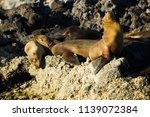 sea wolf wild | Shutterstock . vector #1139072384