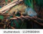 lizard green iguana  also known ... | Shutterstock . vector #1139080844