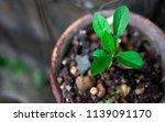 vernonia amygdalina growing in... | Shutterstock . vector #1139091170