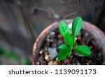 vernonia amygdalina growing in... | Shutterstock . vector #1139091173