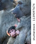 mother and infant chacma baboon | Shutterstock . vector #1139097674
