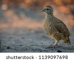 natal spurfowl at biyamiti | Shutterstock . vector #1139097698