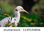 the cattle egret seen among the ... | Shutterstock . vector #1139144846