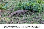 wild monitor lizard  wayanad... | Shutterstock . vector #1139153330