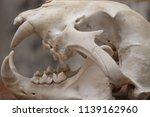 jaguar skull closeup | Shutterstock . vector #1139162960