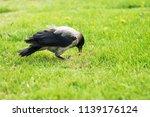 black crow walks on green lawn... | Shutterstock . vector #1139176124
