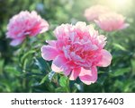 Pink Flower Peonies Flowering...
