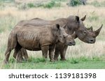rhinos are endangered due to... | Shutterstock . vector #1139181398