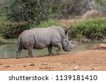 rhinos are endangered due to... | Shutterstock . vector #1139181410