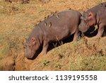 hippos  hippopotamus amphibius  ... | Shutterstock . vector #1139195558