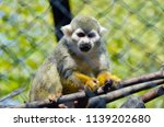 squirrel monkey in a branch in... | Shutterstock . vector #1139202680