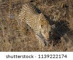 female leopard stare down | Shutterstock . vector #1139222174