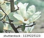 Magnolia Flower. Nature.