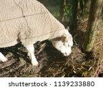 sheep in dutch landscape ... | Shutterstock . vector #1139233880