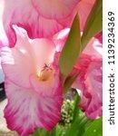 pink blooming gladiolus  | Shutterstock . vector #1139234369