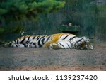 a tiger is always on the watch | Shutterstock . vector #1139237420