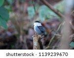 white bearded manakin in... | Shutterstock . vector #1139239670