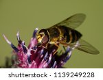 hoverfly sitting on a plant in... | Shutterstock . vector #1139249228