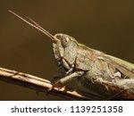 macro image of a grasshopper ... | Shutterstock . vector #1139251358