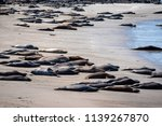 elephant seals on the shore in... | Shutterstock . vector #1139267870