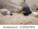 elephant seals on the shore in... | Shutterstock . vector #1139267876