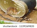 rat  animal  hunger for food in ... | Shutterstock . vector #1139269820