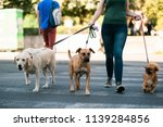 Stock photo dog walker crossing a street with dogs 1139284856