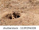 a single prairie dog peaking... | Shutterstock . vector #1139296328