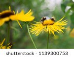 bees collect nectar on big... | Shutterstock . vector #1139300753