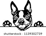 Boston Terrier Lap Dog Breed...