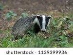 badger cub  native  wild ... | Shutterstock . vector #1139399936