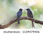 pair of ashy drongo birds on... | Shutterstock . vector #1139479406
